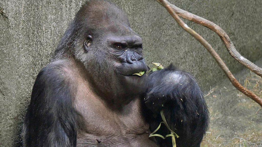 Ramar the Gorilla